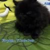 น้องแมวเปอร์เซียแท้ สีดำ Name กาละแม