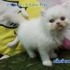 น้องแมวเปอร์เซียแท้ สีขาว Name กลีบลำดวน