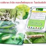 การป้องกันและกำจัด หนอนใยผัก ในแปลงปลูกผักอินทรีย์