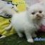 น้องแมวเปอร์เซียแท้ สีขาว Name กลีบลำดวน thumbnail 1