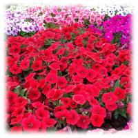 พิทูเนีย มัลติฟลอร่า คอมแพ็ค-ดอกกลาง (Petunia Multiflora Compact)
