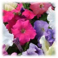พิทูเนีย มัลติฟลอร่า-ดอกกลาง (Petunia Multiflora)