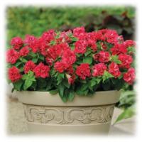 พิทูเนีย ดับเบิล มัลติฟลอร่า คอมแพ็ค-ดอกซ้อน (Petunia Double Multiflora Compact)