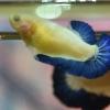 ปลากัดตัวเมียแฟนซีมาเบิ้ลขาวน้ำเงินฟ้า ปลากัดคัดเกรดครีบสั้น - Female Halfmoon Plakad Fancy Marble Premium Quality Grade