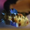 ปลากัดตัวเมียแฟนซีโค่ยกาแลคซี ปลากัดคัดเกรดครีบสั้น - Female Halfmoon Plakad Fancy Galaxy Premium Quality Grade