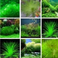เมล็ดพันธุ์ พืชไม้น้ำ (Water plant)