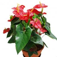เมล็ดพันธุ์ หน้าวัว (Flamingo flower - Araceae)