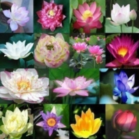 เมล็ดพันธุ์ บัว (Lotus)